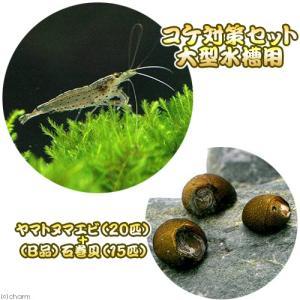(エビ・貝)コケ対策セット 大型水槽用 ヤマトヌマエビ(20匹) +(B品)石巻貝(15匹) 北海道...
