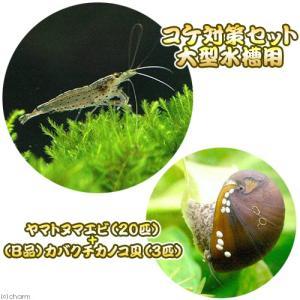 ヤマトヌマエビとコケ取り貝のお得なセット! ヤマトヌマエビ+(B品)カバクチカノコ貝 セット内容 ・...