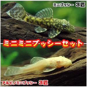 (熱帯魚)ミニミニブッシーセット(ミニブッシープレコ3匹+アルビノミニブッシー3匹)(計6匹) 北海...