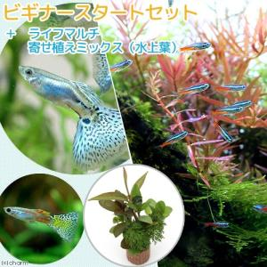 (熱帯魚)(水草)ビギナースタートセット ネオンテトラ(10匹)+国産ミックスグッピー(2ペア) 北海道・九州航空便要保温の画像