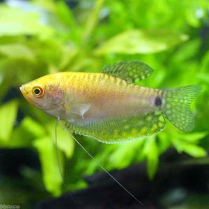 メーカー:■25〜30 メーカー品番: 熱帯魚・エビ他 グラミー・アナバス グラミー・リコリス ゴー...