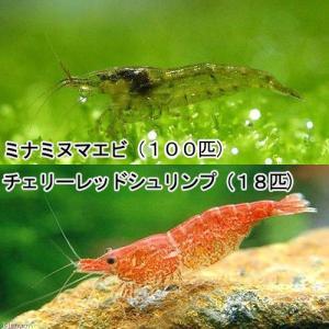 (エビ・貝)お一人様3点限り ミナミヌマエビ(100匹)+チェリーレッドシュリンプ(18匹) 北海道航空便要保温