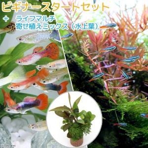 (熱帯魚 水草)ビギナースタートセット ネオンテトラ(10匹)+外国産ミックスグッピー(3ペア) 北海道・九州航空便要保温
