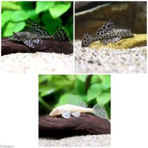 (熱帯魚)セルフィンプレコ3種セット(3匹)(各1匹) 北海道・九州航空便要保温