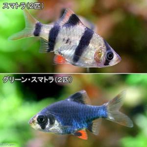 (熱帯魚)スマトラ(2匹)+グリーンスマトラ(2匹) 北海道航空便要保温|chanet