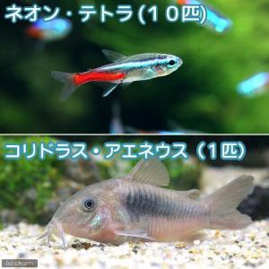 (熱帯魚)ネオンテトラ(10匹) +コリドラス・アエネウス(1匹) 北海道・九州・沖縄航空便要保温