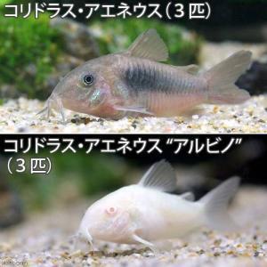 (熱帯魚)コリドラス・アエネウス(3匹) +コリドラス・アエネウス アルビノ(3匹) 北海道・九州航空便要保温