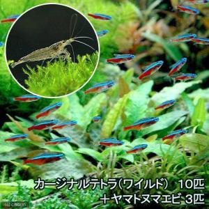 (熱帯魚)カージナルテトラ(ワイルド)(10匹) +ヤマトヌマエビ(3匹) 北海道・九州・沖縄航空便要保温