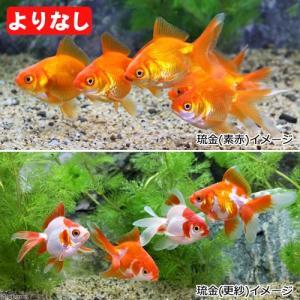 (国産金魚)よりなし(無選別) 琉金(リュウキン)素赤〜更紗(5匹) 北海道・九州航空便要保温|chanet