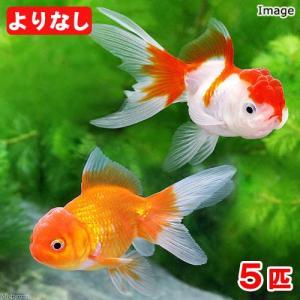 (国産金魚)よりなし(無選別) オランダ獅子頭/オランダシシガシラ 素赤〜更紗(5匹) 北海道・九州航空便要保温|chanet
