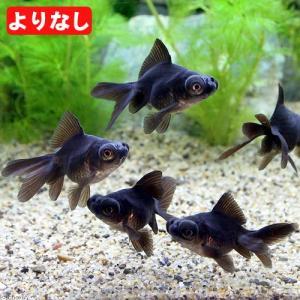 (国産金魚)よりなし(無選別) 黒出目金(クロデメキン)(3匹) 北海道・九州航空便要保温|chanet