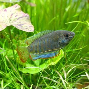 メーカー:■25〜30 メーカー品番: _aqua 熱帯魚・エビ他 グラミー・アナバス グラミー・リ...