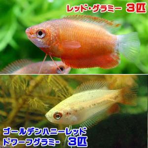 メーカー:■25〜30 メーカー品番: 熱帯魚・エビ他 レッドグラミー レッドグーラミィ ゴールデン...