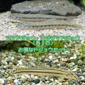 (淡水魚)ドジョウセット その1(シマドジョウ+スジシマドジョウ 各1匹) どじょう