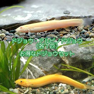 (淡水魚)ドジョウセット その2(ヒドジョウ+アルビノ・ヒドジョウ 各1匹) どじょう 北海道航空便...