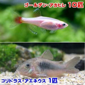 メーカー:■25〜30 メーカー品番: 熱帯魚・エビ他 コイ(ラスボラ等)アカヒレ系 ゴールデン・ア...