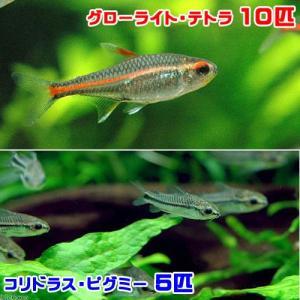 (熱帯魚)グローライト・テトラ(10匹) + コリドラス・ピグミー(5匹) 北海道・九州・沖縄航空便要保温