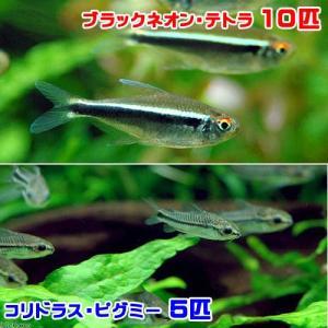 (熱帯魚)ブラックネオン・テトラ(10匹) + コリドラス・ピグミー(5匹) 北海道・九州航空便要保温