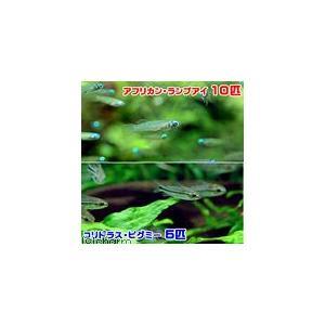 アフリカン・ランプアイは1〜2cm程度です。コリドラス・ピグミーは1〜3cm程度です。個体サイズや模...