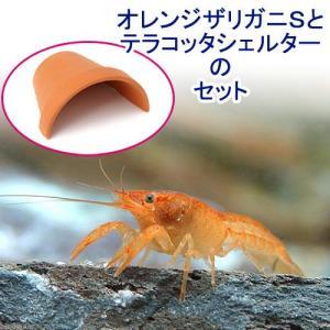 お送りする個体は全長約2〜5cm程になります。※サイズは、ハサミを除く胴体から尾にかけての寸法となり...