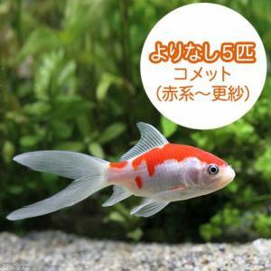 (国産金魚)よりなし(無選別) コメット 赤系〜更紗(5匹) 北海道・九州航空便要保温|chanet