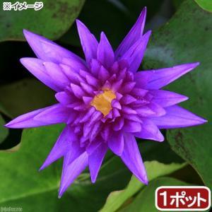 (ビオトープ/睡蓮)熱帯性睡蓮(スイレン)(青) キング・オブ・サイアム(1ポット)