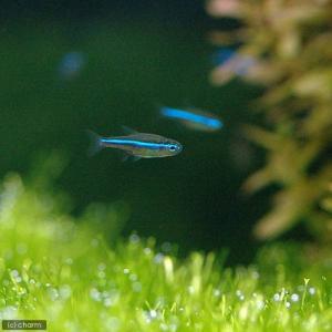 (熱帯魚)グリーンネオンテトラ(10匹) 北海道・九州・沖縄航空便要保温