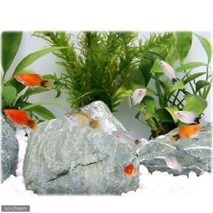 メーカー:■25〜30 メーカー品番: _aqua 熱帯魚・エビ他 プラティ・卵胎生メダカ プラティ...