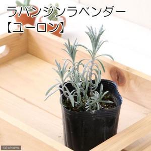 刺激的でシャープな香り! 生育旺盛で大型に育つ株が多く、幅広い葉に強いカンファー臭があります。長い花...