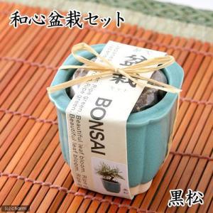 和心盆栽セット 黒松 家庭菜園 キッチン菜園 室...の商品画像