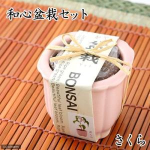 和心盆栽セット 桜 数量限定 家庭菜園 関東当日便|chanet