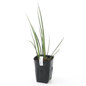 (ビオトープ/水辺植物)アコルス・バリエゲイタス 斑入りセキショウ(1ポット分)