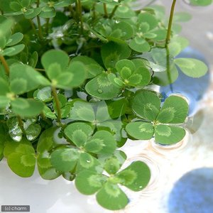 (ビオトープ)水辺植物 メダカの鉢にも入れられる水辺植物! ウォータークローバー ムチカ(1ポット分)
