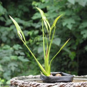 (ビオトープ/水辺植物)クワイ(1ポット分)