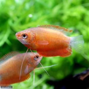 メーカー:■25〜30 メーカー品番: _aqua 熱帯魚・エビ他 グラミー・リコリス レッド・グラ...