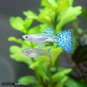 メーカー:■25〜30 メーカー品番: _aqua 熱帯魚・エビ他 グッピー ノーマル系 ブルーグラ...