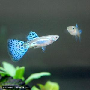(熱帯魚)ブルーグラスグッピー(国産グッピー)...の詳細画像1