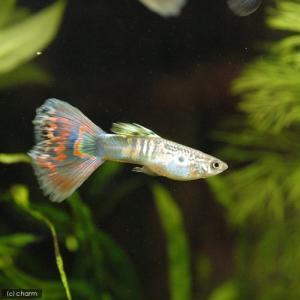 メーカー:■25〜30 メーカー品番: _aqua 熱帯魚・エビ他 グッピー ノーマル系 オールドフ...
