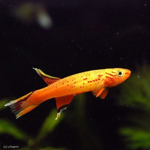 (熱帯魚)アフィオセミオン・オーストラレ オレンジ(1ペア) 北海道・九州・沖縄航空便要保温