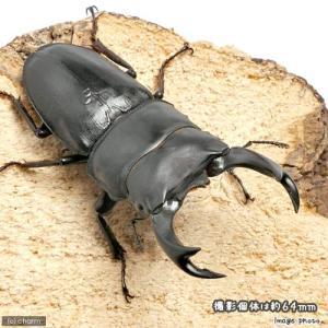 (昆虫)国産オオクワガタ 山梨県韮崎市産 幼虫(初〜2令)(1匹) 北海道航空便要保温 chanet