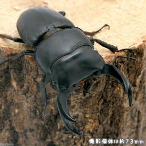 (昆虫)国産オオクワガタ 愛知県祖父江産 幼虫(初〜2令)(1匹) 北海道航空便要保温|chanet