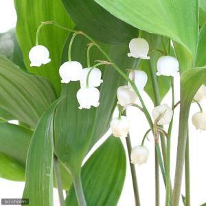 可憐な白い花! ニホンスズランは中部以北の高地や林縁ユリの仲間です。一般に見られるスズランはドイツス...