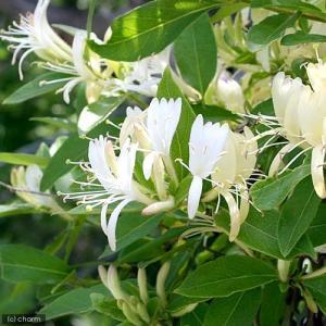 甘い香り! スイカズラは北海道、本州、四国、九州に分布する常緑のつる性の植物です。ハニーサックルの名...