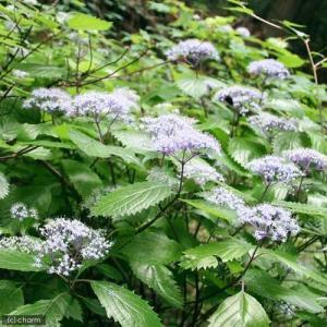 林縁を彩る日本固有のアジサイ!コアジサイは山野の林縁に見られるアジサイの仲間です。小さな花をまりのよ...