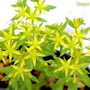 丈夫な多肉植物!ツルマンエングサは中国、朝鮮半島原産の多肉植物の仲間です。日本でも古くから帰化し、道...