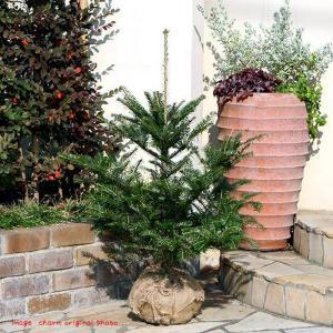 (観葉植物)もみの木(ウラジロモミノキ)長野産(1本)(高さ0.8〜1m前後)説明書付き 同梱不可 沖縄別途送料|chanet