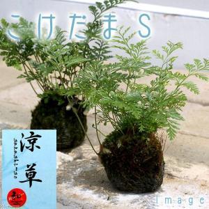 (山野草)苔玉 トキワシノブ Sサイズ(1個) 盆栽 コケ玉 (休眠株)