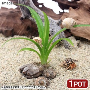 (観葉植物)ペットリーフ アダンの苗 2.5〜4号(無農薬)(1ポット) オカヤドカリ|chanet