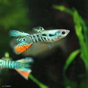 メーカー:■25〜30 メーカー品番: 熱帯魚・エビ他 グッピー ノーマル系 メデューサ・グッピー ...