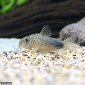 メーカー:■25〜30 メーカー品番: _aqua 熱帯魚・エビ他 コリドラス ショートノーズ コリ...
